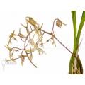 Orchidée 'Gongora species'
