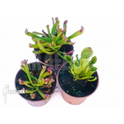 Heliamphora Starter set 3 plants