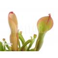 Heliamphora nutans (L)