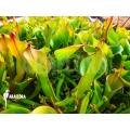 Heliamphora nutans 'Adult plant'