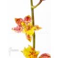 Orchidée 'Howeara Chian-Tzy Lovely'