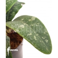 Hoya aff Rintzii Borneo H1 'leafcutting'