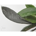 Hoya cornosa