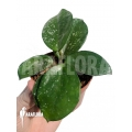 Hoya carnosa Freckles Splash 'leafcutting'
