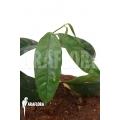 Hoya danumensis 'L'