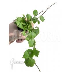 Hoya endauensis