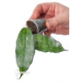 Hoya fungii Cao Bang 'Starter'