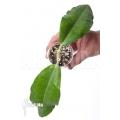 Hoya imperalis 'Starter'