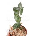 Hoya lacunosa 'Silver leaves'