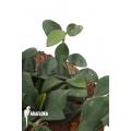 Hoya nummularioides 'S'