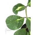 Hoya obovata variegated 'Splash'