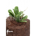 Hoya rotundiflora 'leafcutting'
