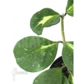 Hoya variegated 'Splash'