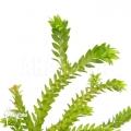 Huperzia 'Lycopodium' phlegmaria
