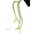 Huperzia 'Lycopodium' phlegmaria 'L'
