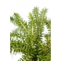 Huperzia 'Lycopodium' phlegmaria 'XL'