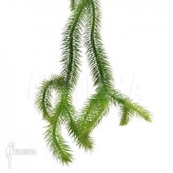 Huperzia 'Lycopodium' squarrosum