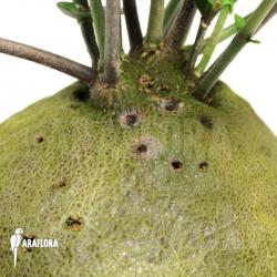 Hydnophytum cf. mosleyanum