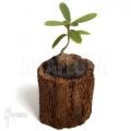 Plante myrmécophyte 'Hydnophytum formicarum'