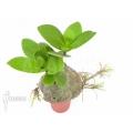 Plante myrmécophyte 'Hydnophytum formicarum' 'Starter'