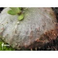 Plante myrmécophyte 'Hydnophytum mosleyanum' 'Type a'