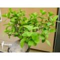 Plante myrmécophyte 'Hydnophytum formicarum' 'XXL'