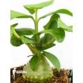 Plante myrmécophyte 'Hydnophytum mosleyanum' 'M'