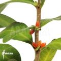 Plante myrmécophyte 'Hydnophytum mosleyanum'