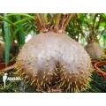 Plante myrmécophyte 'Hydnophytum perangustum'