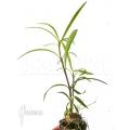 Plante myrmécophyte 'Hydnophytum perangustum' 'Needle leaf' 'Starter''