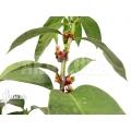 Plante myrmécophyte 'Hydnophytum radicans XXL'
