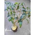 Plante myrmécophyte 'Hydnophytum simplex XL'