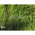 Hypne cypres mousse (sur arbre) 'Hypnum cupressiforme'
