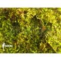 Vesicularia dubyana 'Java mousse'