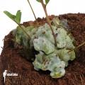 Lecanopteris burkii hybride
