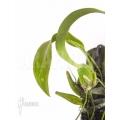Orchidée 'Lemboglossum ehrenbergii'