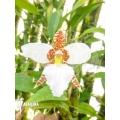 Orchidée 'Lemboglossum rossii'