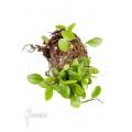 Lemmaphyllum microphyllum 'Starter'