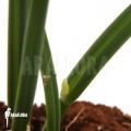 Orchidée 'Leptotes bicolor'