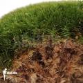 Cushion mousse 'Leucobryum glaucum cradle'