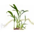 Orchidée 'Liparis condylobulbon' starter