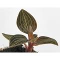 Orchidée 'Ludisia discolor'