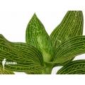 Orchidée 'Ludisia discolor 'Alba'