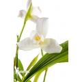 Orchidée 'Lycaste skinneri 'White''