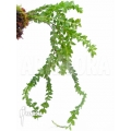 Huperzia 'Lycopodium' hamiltonii
