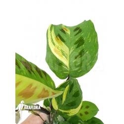 Marantha leuconeura kerchoveana variegata