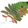 Marcgravia rectifolia 'Starter Plug'