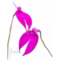 Orchidée 'Masdevallia coccinea Pink'