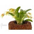 Orchidée 'Masdevallia garciae'