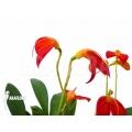 Orchidée 'Masdevallia ignea'